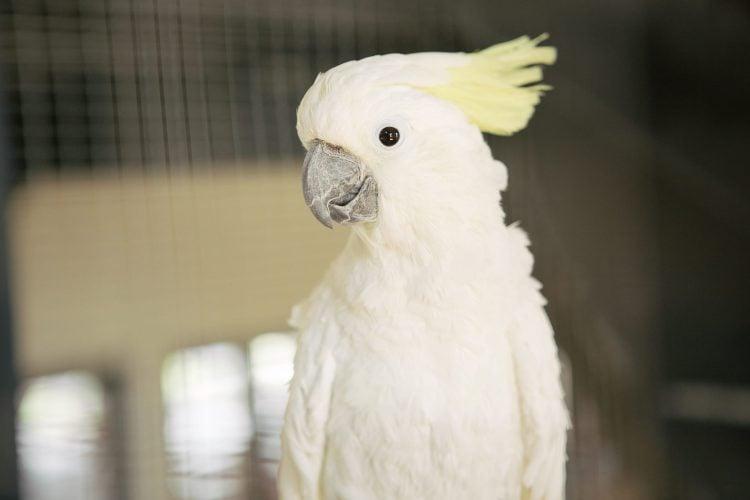 Papagal umbrelat
