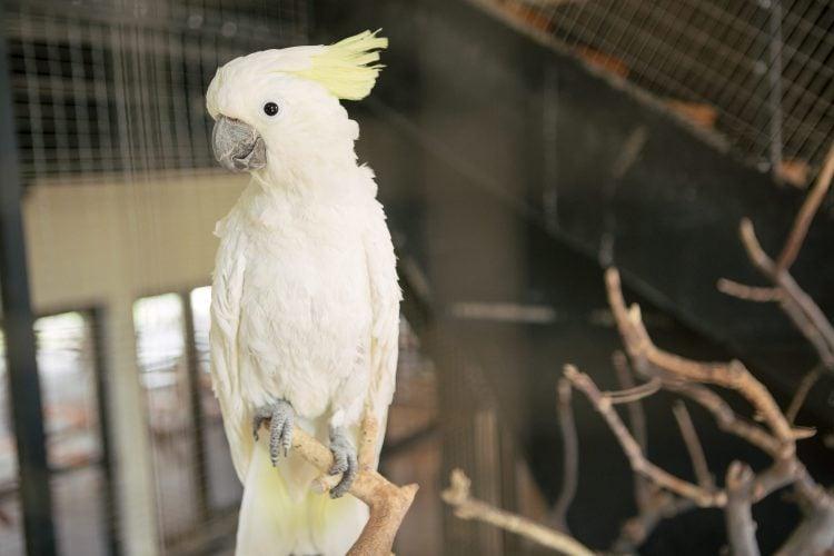Papagal kakaddu umbrelat cu galben