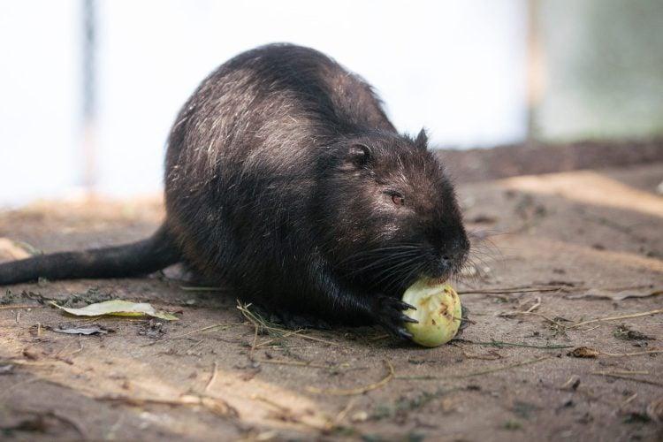 Nutrie cu un măr