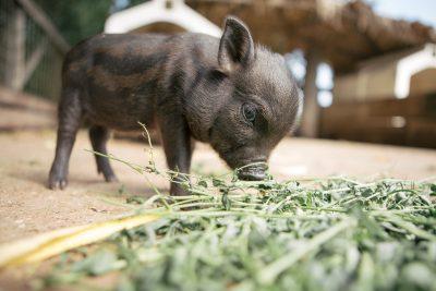 Porc vietnamez pui