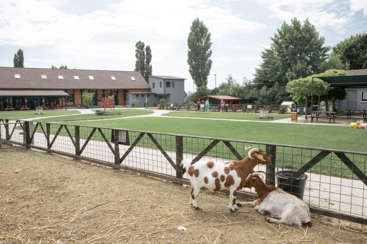 Două capre