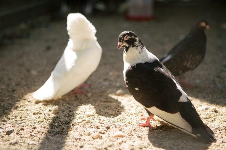 Porumbei