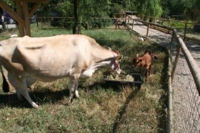 Vaca Jersey și vițelușul ei