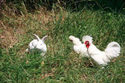 Discuție între un iepure, un cocoș și o găină